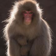 Snow Monkey, Jigokudani Monkey Park, Japan