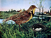The eastern meadowlark (Sturnella magna) is a medium-sized icterid bird, very similar in appearance to the western meadowlark. It occurs from eastern North America to South America, where it is also most widespread in the east. From Birds : illustrated by color photography : a monthly serial. Knowledge of Bird-life Vol 1 No 3 March 1897