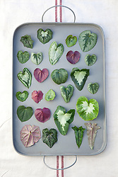 Mixed Cyclamen hederifolium leaves on a metal tray