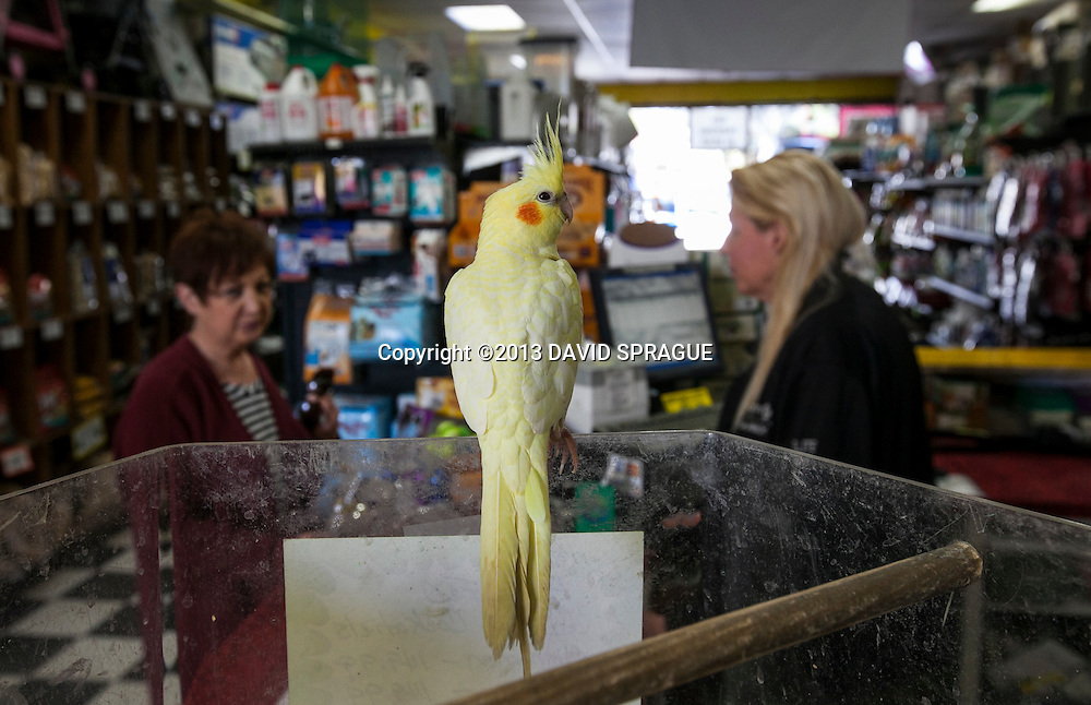 A cockatiel for sale at Peggy Wood's Pet Emporium. The city of Burbank has banned the sale of puppies and kittens, hurting businesses like Peggy Wood's Pet Emporium. Shot Feb. 6th,  2013Photo by David Sprague ©2013