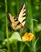 Tiger Swallowtail Butterfly on a Zinnia Flower. Image taken with a Nikon 1 V3 camera and 70-300 mm VR lens.