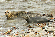Common seal, harbour seal, Phoca vitulina, mother in sea with pup, Sanday, Orkney, Orkney Isles.<br /> animal; animals; mammal; mammals; nature; wildlife; <br /> adult; two; couple; sea; coast; coastal; pinniped; pinnipeds;<br /> brown; grey; gray; watch; watching; look; l