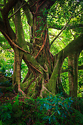 """Banyan tree along the Pipiwai trail to Waimoku Fall in the Kipahulu area of Haleakala National Park in Maui, Hawaii<br /> .....<br /> Haleakalā National Park was established as a separate unit of the National Park System in 1960 (it was previously joined with Hawaiʻi National Park on Hawaiʻi Island). At the time, the park only consisted of the crater area of Haleakalā. On March 26, 1951, Kīpahulu Valley was added to Haleakalā National Park (HNP) as the Kīpahulu Biological Reserve to insure protection of endangered ecosystems within the sanctuary. Eighteen years later on January 10, 1969, the HNP boundaries were expanded to include the Kīpahulu coastal area of ʻOheʻo. Although access in the Kīpahulu Biological Reserve is strictly limited to researchers and managers, the ʻOheʻo region of the park is open for recreation. Attractions include the ʻOheʻo Pools, often called the """"Seven Sacred Pools"""" (a name created by tourism proponents), a car-accessible campground, and several maintained trails, such as the four-mile Pipiwai Loop Trail to Waimoku waterfall. The Kīpahulu ʻOhana, a non-profit community organization established in 1995 through a co-operative agreement with Haleakalā National Park to revive, restore, and share the practices of traditional Native Hawaiian culture, also conducts community-based cultural tours in the area."""