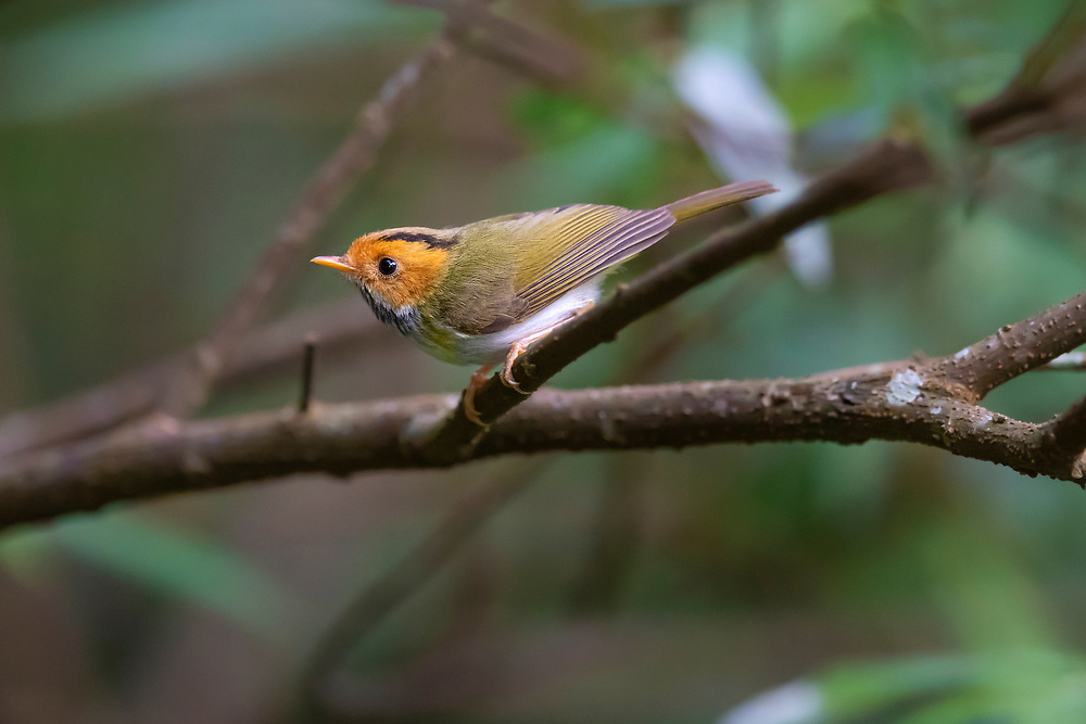 Rufous-faced warbler, Abroscopus albogularis, Lalashan Forest Reserve, Baling, Taiwan