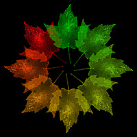 """Seasons Of The Maple"" - Part of my ""Shape Of Things"" series, this photo illustration using a unique stamping method shows the seasonal cycle of a sugar maple leaf. NANPA 2018 Showcase, Top 250."
