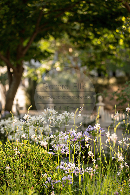 Agapanthus flowers blooming at a garden on Water Street in Charleston, SC.
