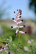 MARTIN'S RAMPING-FUMITORY Fumaria reuteri (Fumariaceae) Height to 10cm. Spreading or upright annual of arable land, banks and walls. FLOWERS are 11-13mm long and pinkish purple with dark tips, the lower petal almost parallel-sided (not paddle-shaped) with erect margins; borne in spikes of 12-15 flowers (Apr-Oct). FRUITS are globular, smooth and 1-seeded. LEAVES are much divided. STATUS-Very rare. Two sites only, in S England; well know from an Isle of Wight allotment.