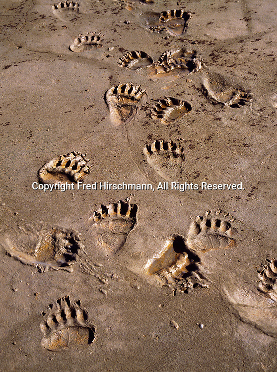 Brown bear tracks on the mudflats of Chinitna Bay, Cook Inlet portion of Lake Clark National Park, Alaska.