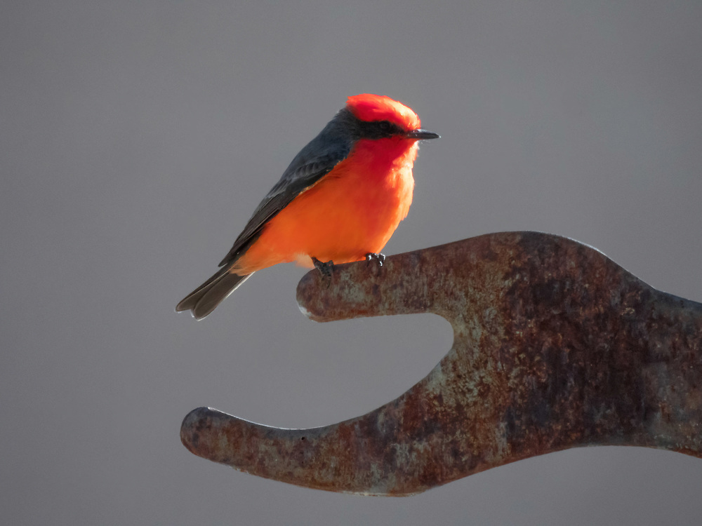 This vermillion flycatcher rest upon a statue honoring Christina Taylor Green who died tragically in Tucson 2011. She was born on the day of the 911 tragedy. The statue is made from metal from the 911 event.