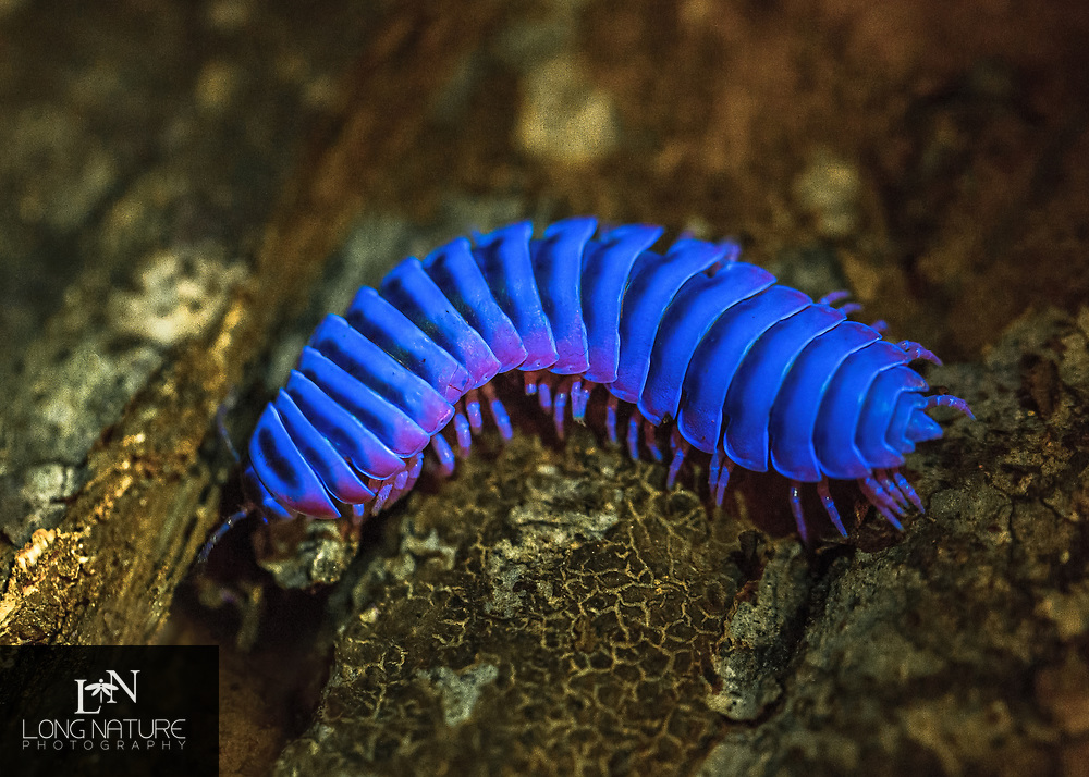 Sigmoria Sp. - flat backed millipede.  Photographed at 2400 ft. near a stream among undergrowth.  Under UV light.  Fort Mountain State Park GA, USA