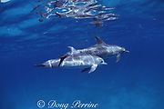 Atlantic spotted dolphins, Stenella frontalis, mother and calf, White Sand Ridge, Little Bahama Bank, Bahamas ( Western North Atlantic Ocean )
