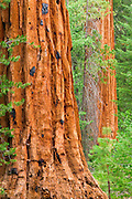 Giant Sequoias (Sequoiadendron giganteum), Trail of 100 Giants, Giant Sequoia National Monument, California USA