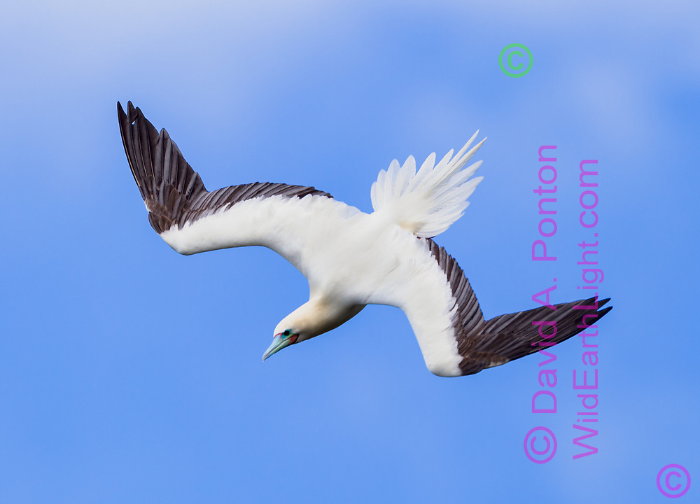 Red-footed booby in diving flight, wings pulled partly ine, perfect feathering, blue sky background, © David A. Ponton