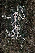 Sheep skeleton near Lough Inagh, West Ireland (Connemara).