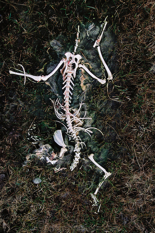 Sheep skeleton near Lough Inagh, West Ireland (Connemara).