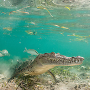 American crocodile (Crocodylus acutus)  and gray snapper (Lutjanus griseus) in shallow seagrass meadow. Jardines de la Reina, Gardens of the Queen National Park, Cuba.