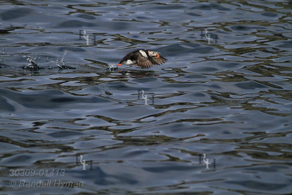 Puffin (Fratercula arctica) struggles to take flight when swimming at sea; Gjesvaerstappan Island, Mageroya, Finnmark, Norway.