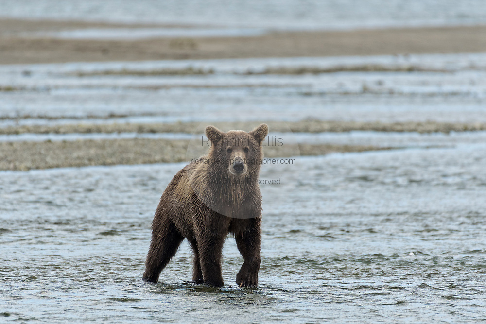 A brown bear sub-adult hunts for salmon in the lower lagoon at the McNeil River State Game Sanctuary on the Kenai Peninsula, Alaska. The remote site is accessed only with a special permit and is the world's largest seasonal population of brown bears in their natural environment.