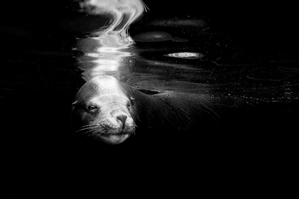 México, Baja California, Sea of Cortez, La Paz. Portrait of a male sea lion swimming at la lobera.