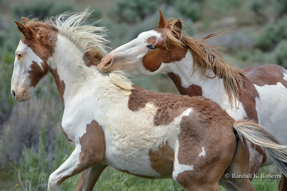 Wild horses Scamper (left) and Arroyo (brothers) play in the Sand Wash Basin Wild Horse Management Area, NW Colorado.