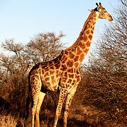 Krugerparken 2002 07 Syd Afrika<br /> Giraff<br /> <br /> <br /> FOTO JOACHIM NYWALL KOD0708840825<br /> COPYRIGHT JOACHIMNYWALL:SE<br /> <br /> ****BETALBILD****<br />  <br /> Redovisas till: Joachim Nywall<br /> Strandgatan 30<br /> 461 31 Trollhättan<br />  Prislista: BLF, om ej annat avtalats