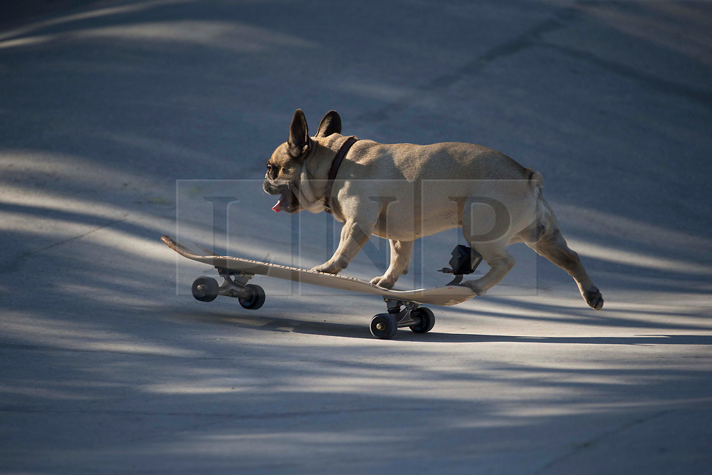 © Licensed to London News Pictures. 31/07/2020. London, UK. Eroc is seen skateboarding in Hackney Bumps, east London during one of the warmest day of the year. Eroc has 68.4k followers on Instagram. His owner Joel said he never made Eroc skateboard and Eroc naturally develops his passion for skateboarding. Photo credit: Marcin Nowak/LNP