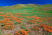 California Poppies (Eschscholzia californica) in the Tehachapi Mountains, Angeles National Forest, California