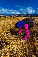 Harvesting barley, Tibet (Xizang), China.