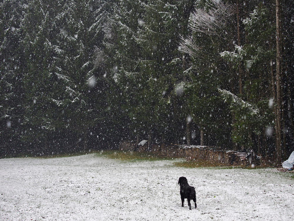 Rear view of dog standing on snow covered field with forest in the background, Middle Black Forest, Elzach-Yach, Baden-Württemberg, Germany.