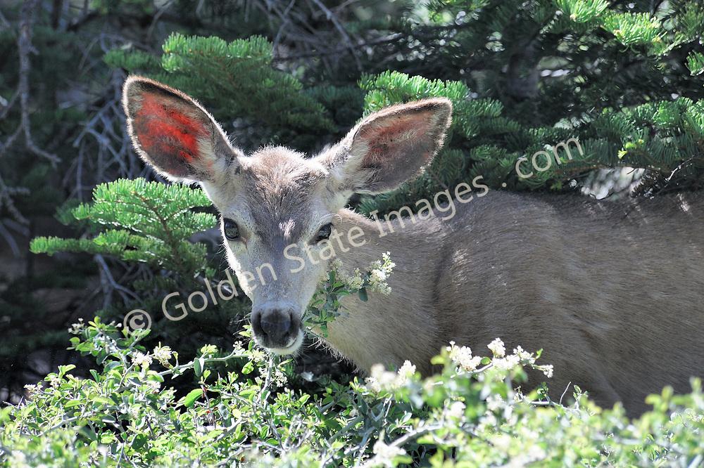 Mule Deer roaming near Yosemite. <br /> <br /> Range: Western North America    <br /> <br /> Species: Odocoileus hemionus