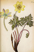 hand painted Botanical illustration of flower details leafs and plant from Miscellanea austriaca ad botanicam, chemiam, et historiam naturalem spectantia, cum figuris partim coloratis. Vol. II  by Nicolai Josephi Jacquin Published 1781. Figure 4