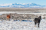 Band of wild mustangs in winter in Wyoming
