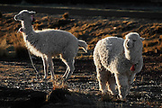 Pair of backlit alpacas at a farm near Puno, Peru.
