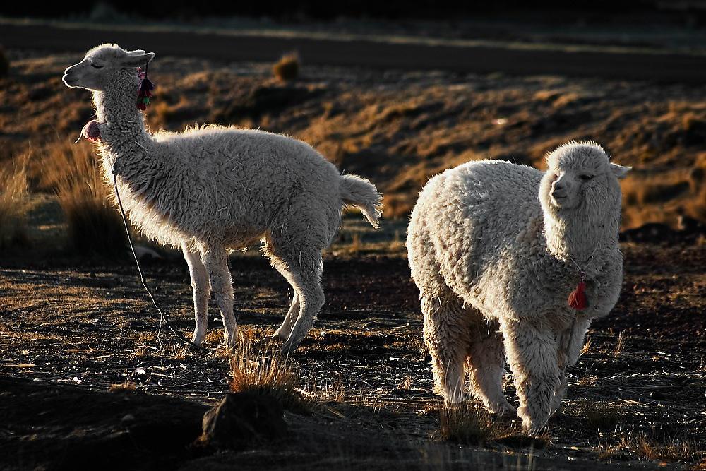 Pair of backlit alpacas at a farm near Puno, Peru.