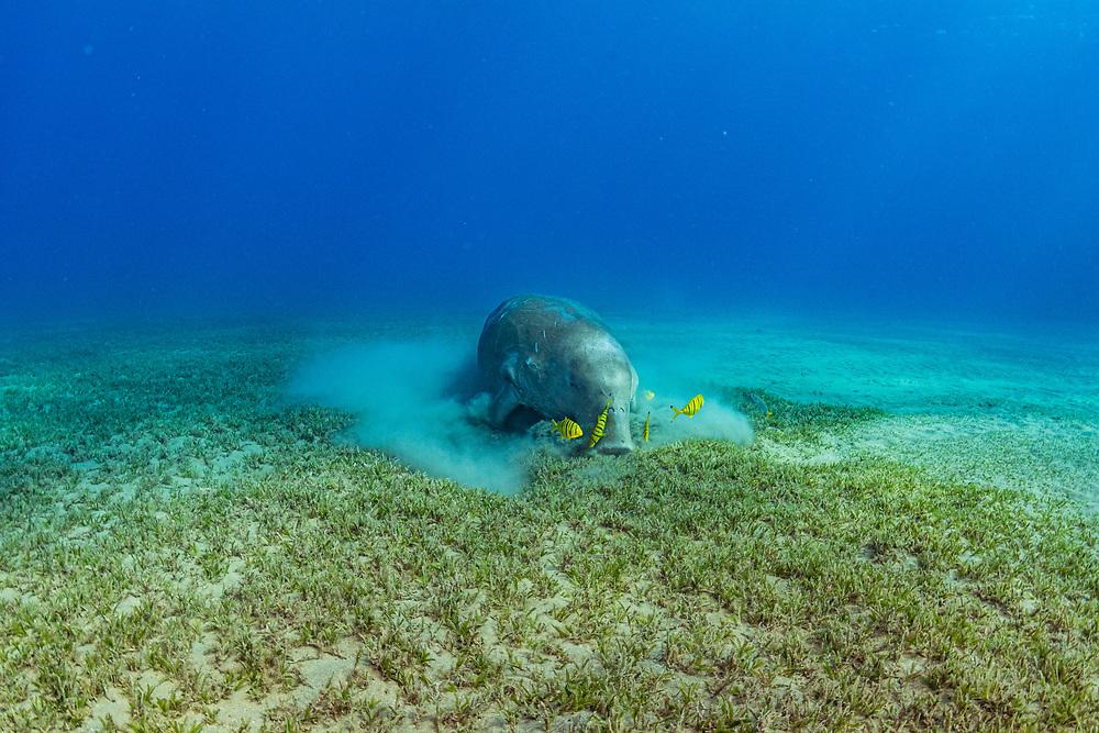 Dugong (Dugong dugon) male and juvenile Golden trevally (Gnathanodon speciosus) feeding on Seagrass (Halophila stipulacea) off Marsa Alam, Egypt.