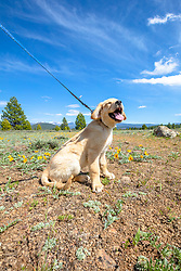 """""""Smiling Puppy in Truckee 1"""" - Photograph of a smiling Golden Retriever puppy near Prosser Reservoir in Truckee, California."""