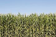 Closeup of corn crop in August<br />