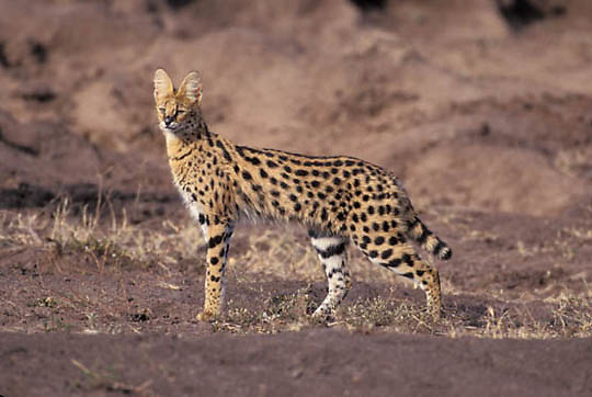 Serval, (Felis serval) Hunting in the Masai Mara Game Reserve. Kenya. Africa.