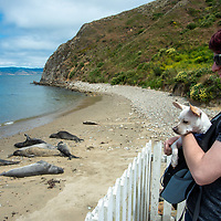 Visitors enjoy watching Elephant seals relax on a beach near Point Reyes Lifeboat Station, California.
