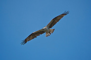 Osprey circling in search of food near Albion, on the northern California coastline.