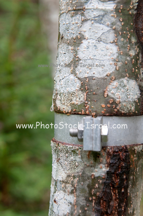 Deep cut in the tree trunk caused by a metal clamp tightened around the trunk