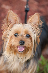 Portrait Of A Yorkshire Terrier Dog