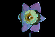 Daffodil flower as seen in UV light. The specimen was illuminated with shortwave ultraviolet light (UV) that cannot be detected with the camera used for this image. The tissues in the plant absorbed the UV light and fluoresced in the visible spectrum. This technique is called ultraviolet light induced visible light fluorescence (UVIVLF) and is often used in biology to detect unique compounds in samples. This image is part of a series.