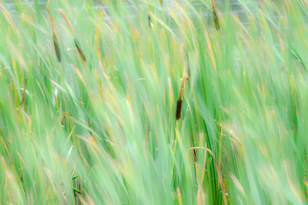 Windblown cattails, Elwha River, summer, Olympic Peninsula, Washington, USA