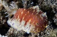 Chromodoris Nudibranch