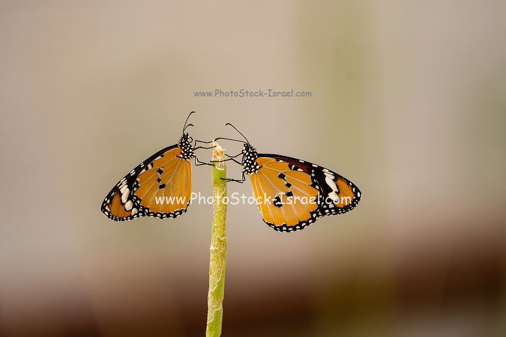 Two Plain Tiger (Danaus chrysippus) AKA African Monarch Butterfly mating on a flower Photographed in Israel, in July