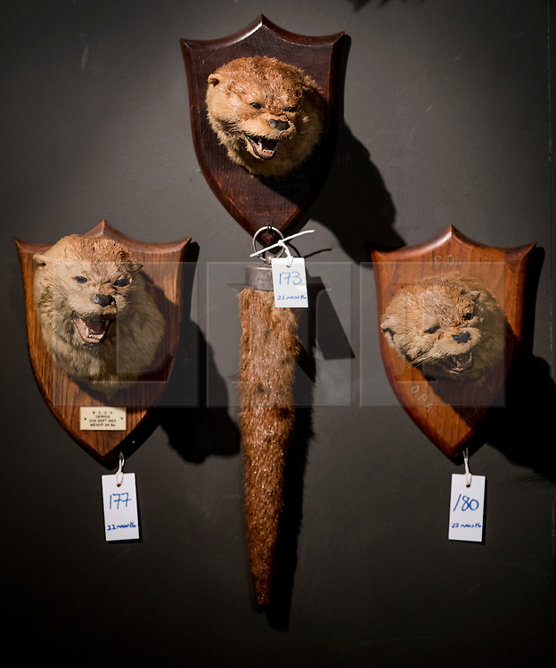 © Licensed to London News Pictures. 17/11/2016. Billingshurst, UK. Three early 20th century otter masks are displayed at Summers Place Auctions ahead of their sale in their 'Evolution' Auction taking place on November 22, 2016 - which will also see a rare dodo skeleton up for sale.   Photo credit: Peter Macdiarmid/LNP