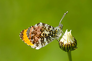 Orange Tip Butterfly, Anthocharis cardamines, adult, Monkton Nature Reserve, Kent, UK, side view of underside of wings closed,