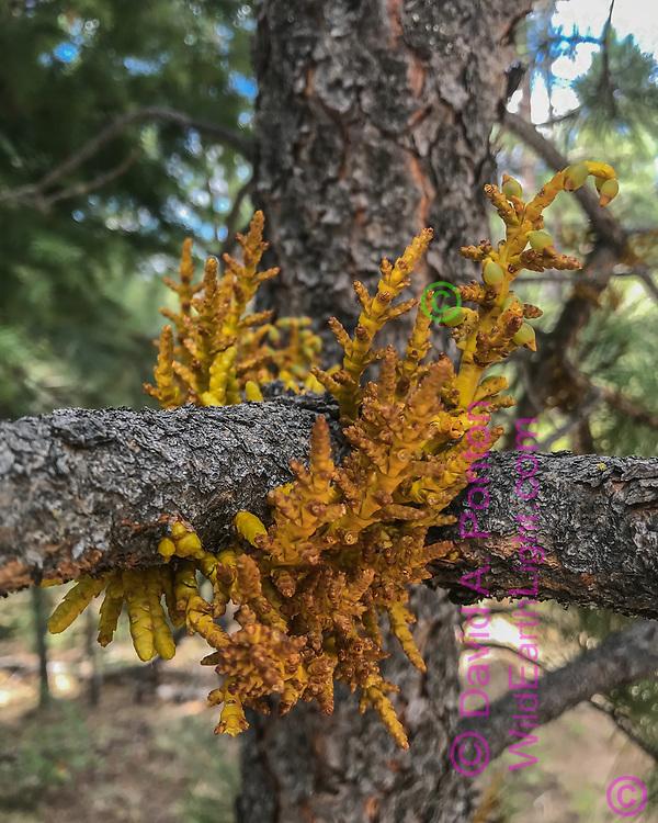 Dwarf mistletoe growing on ponderosa pine tree branch, Jemez Mountains, NM, © David A. Ponton