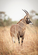 A roan antelope, one of the largest antelope, roams in Waza National Park, in the north of Cameroon